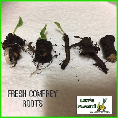 Comfrey 7 Root Symphtum Cuttings-Easy To Grow-Perfect for Organic farming)