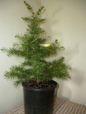 Lebanese Cedrus libani - seed grown - Bonsai or Landscape - Cedar of Lebanon