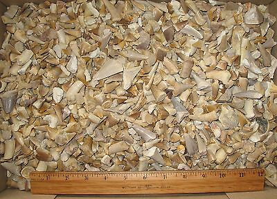 Cretaceous Mosasaur shark ray fish BIG tooth fossil 1 KG wholesale lot Morocco