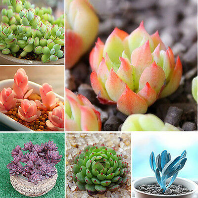 80X 24Kinds Rare Succulents Seeds Succulent Potted Plant Home Garden Decor New