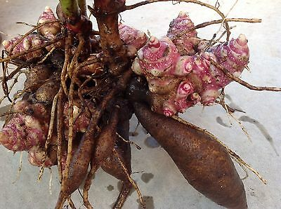 Yacon x1 Tuber dugged Fresh - Organically Grown - Rare Plants