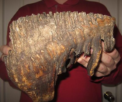 Impressive Tooth of a Woolly Mammoth FOSSIL Pleistocene SUPER BIG for sale