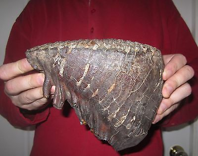 Tooth of a Woolly Mammoth FOSSIL Pleistocene for sale