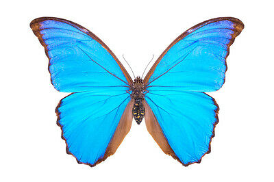 Giant Blue Morpho Butterfly Morpho didius Male Folded/papered FAST FROM USA