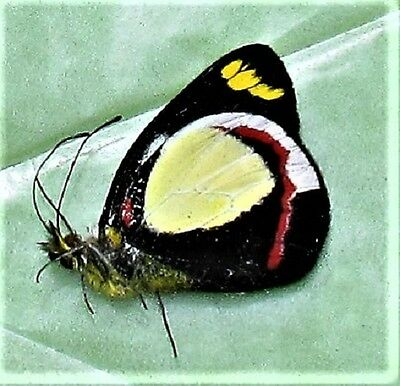 Lot of 2 Butterfly Delias dixeyi Pieridae Folded/Papered FAST FROM USA
