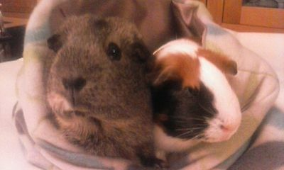 Chucklebunnies Guinea pig cuddle bed pocket for 2, green/brown/blue leafy fleece