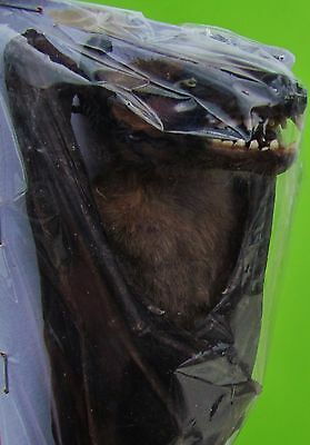 Large Leschenault's Rousette Bat Rousettus leschenaulti Hanging FAST FROM USA