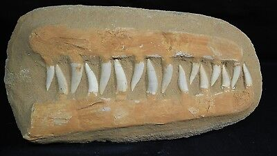 "Enchodus  ""Saber Tooth"" Fish Fossil Jaw in matrix.  Huge piece with 16 teeth."