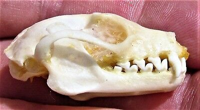 Greater Short-nosed Fruit Bat Cynopterus sphinx Skull FAST SHIP FROM USA