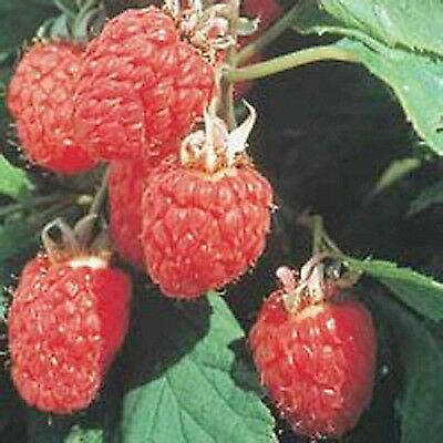 15 x RASPBERRY CANES EARLY MIDS LATE  BARE ROOT PLANTS READY TO PLANT OUT g