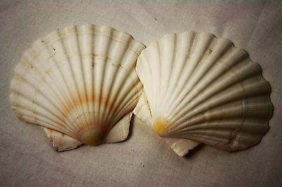 Pack of 2 Large Sea Scalloped Shells Craft Natural Decoration