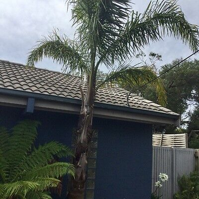 Mature and healthy Coco Palm Tree Approx 18' tall