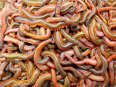 RAGWORM!!  WILD! Fishing bait 1lb of weight comes in polystyrene box