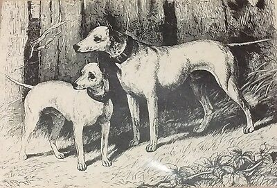 Bull Terrier print by Vero Shaw of Tarquin and Napper