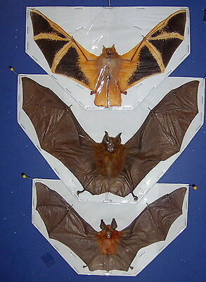 Hanging Bats Taxidermy 3 Species Displayed in  Flying Position LQQK