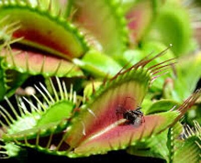 4 x VENUS FLY TRAP Dionaea muscipula carnivorous fly eating plant in 60mm pot