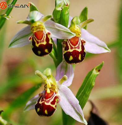 New Arrival! Bee Orchid Seeds Perennial Flowering Plants Potted Seeds - 50pcs