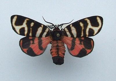 Butterfly Hebe Tiger Moth, Arctia festiva female