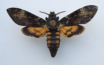 Butterfly  Death's-head Hawk-moth, Acherontia atropos male