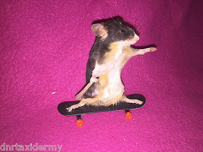 Taxidermy Skater Mouse Unusual Falconry  Gift Countryside Prop