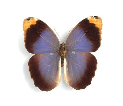 Rare Amazing Purple Owl Butterfly Caligo beltrao Folded/Papered FAST FROM USA