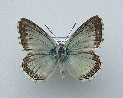 Butterfly Spanish Chalk-hill Blue, Polyommatus albicans male