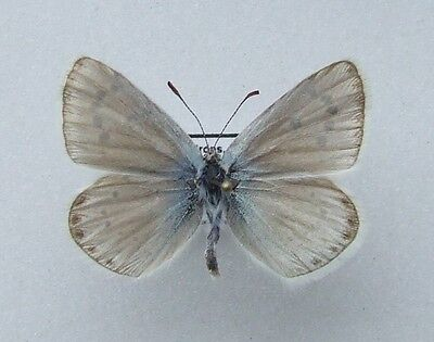 Butterfly Mother-of-Pearl Blue, Polyommatus nivescens male - RARE!