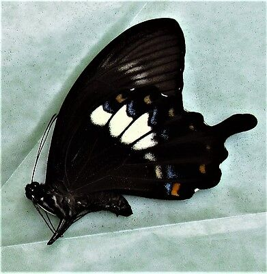 Fuscous Swallowtail Butterfly Papilio fuscus fuscus Male Folded FAST FROM USA