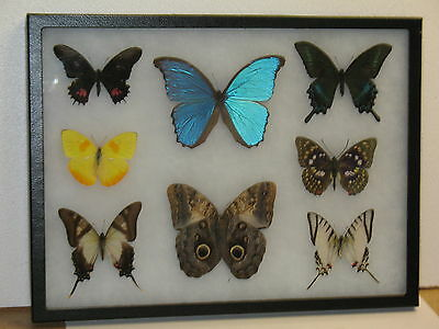 Real framed Butterfly collection #5
