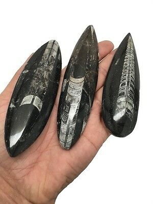 3pcs, Hand Polished Fossils Orthoceras (straight horn) SQUID @Morocco,MF12
