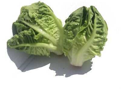 1200 Seeds NT of Mini Lettuce Small Romaine / Tasty / Vegetable Salad