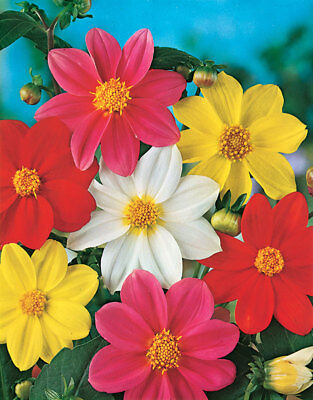 90 Seeds of DAHLIA Cute Dwarf Varied / FLOWERS bedding and Borders