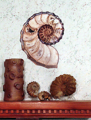 """12"""" High Quality Calycoceras Ammonite Removable Wall Graphic / Poster"""
