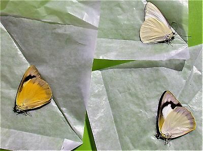 Lot of 3 Common Albatross Butterfly Appias albina semperi Folded FAST FROM USA