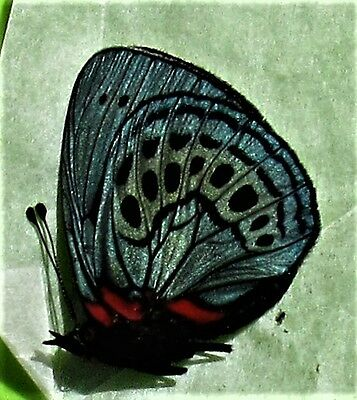 Leprieur's Glory Butterfly Asterope leprieuri philotima Male Folded FAST FROM US