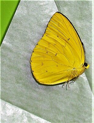 Lot of 2 Orange Migrant Butterfly Catopsilia scylla cornelia Male Folded FAST