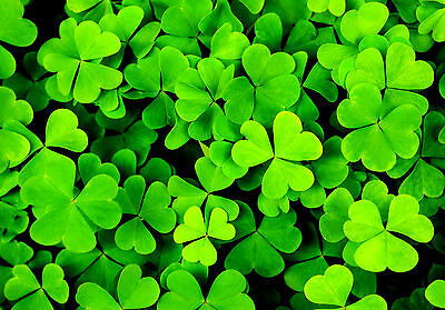 500 Seeds Clover Irish / three Leaves / Shamrock Trifolium Dubium