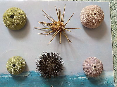 Sea Urchins Collection From Greece
