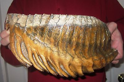 Excellent Great Tooth of a Woolly Mammoth FOSSIL Pleistocene SUPER BIG for sale