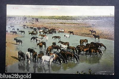 Antique Vintage Postcard Cowboys Rounding Up Wild Horses Chinook Montana Art