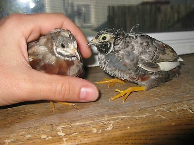 30 Button Quail Hatching Eggs - Variety Of Colors