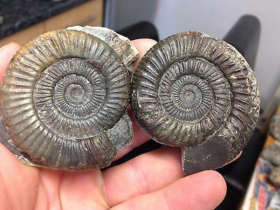 2 X DACTYLIOCERAS SP whitby uk dinosaur age jurassic fossil ammonite