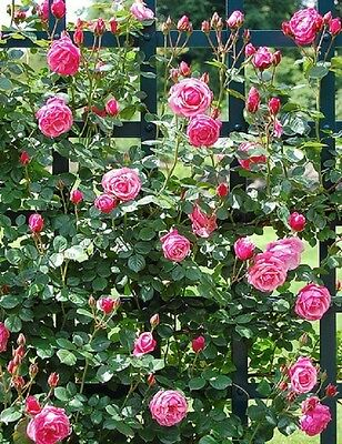 Rose 'Pink Perpetue' - SCENTED CLIMBING ROSE - 99p AUCTION NO RESERVE