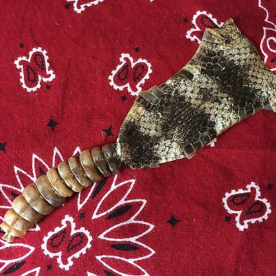 REAL XL Rattlesnake Tail Rattle with Skin On Taxidermy #7