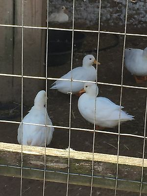 10++ Pure Breed Assortment Call Duck  Hatching Eggs *Rare NPIP