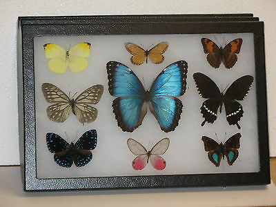 Real framed Butterfly collection #1