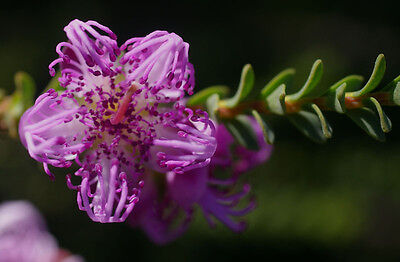 CLAW FLOWER / CLAW HONEY-MYRTLE (Melaleuca pulchella) Seeds
