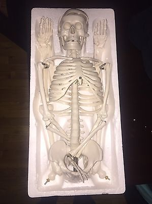 Human Anatomical Anatomy Skeleton Medical Model + Stand