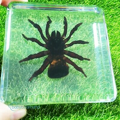 Rare Education Insect Specimen - Torch Spider( Cyclocosmia fricketti )child gift