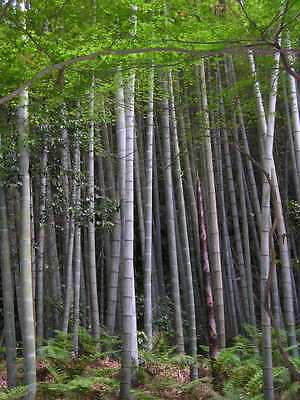 TOP Giant bamboo MOSO Bambus Phyllostachys edulis 20 fresh Seeds/Seeds